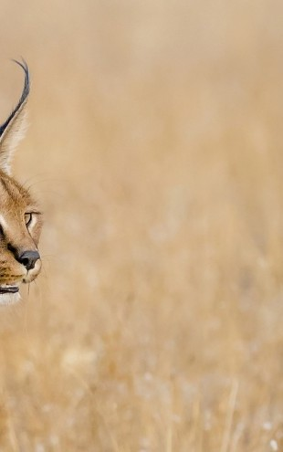 PHOTOWALL / Caracal Portrait, South Africa (e31091)