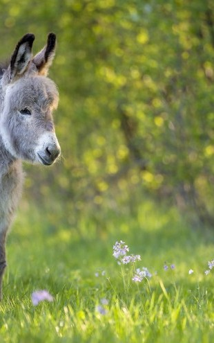 PHOTOWALL / Donkey Foal Standing in a Meadow (e31101)