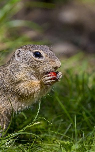 PHOTOWALL / European Ground Squirrel (e31104)