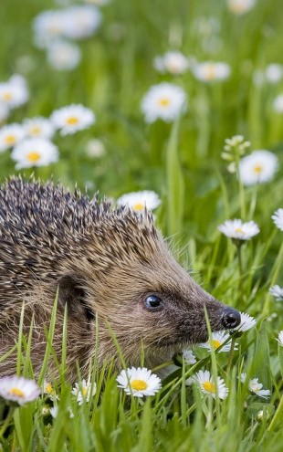 PHOTOWALL / European Hedgehog in Meadow (e31105)