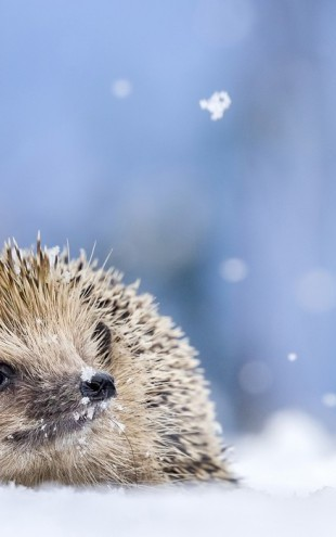 PHOTOWALL / European Hedgehog in the Snow (e31106)