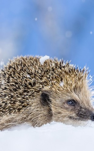 PHOTOWALL / European Hedgehog (e31107)
