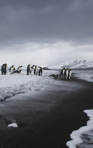 PHOTOWALL / Group of King Penguins, Antarctica (e31109)