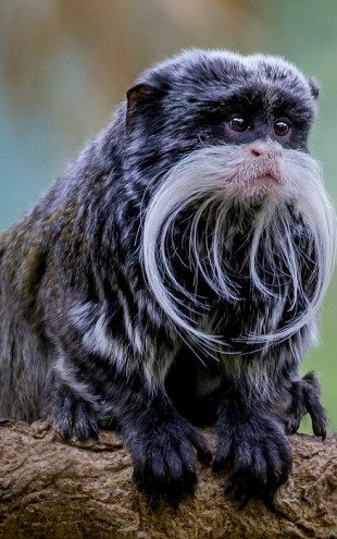 PHOTOWALL / Portrait of a Blackchinned Emperor Tamarin (e31122)