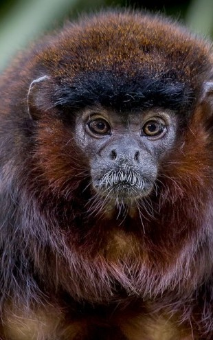 PHOTOWALL / Portrait of a Coppery Titi Monkey (e31123)