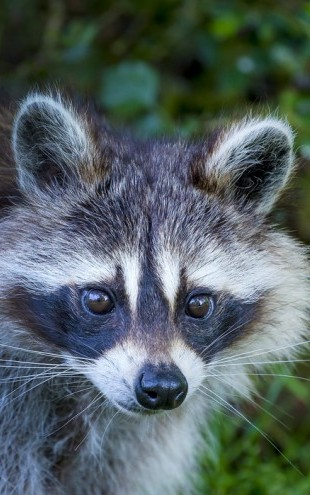 PHOTOWALL / Portrait of a Raccoon (e31124)