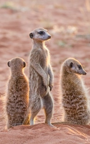 PHOTOWALL / Three Meerkats on Den, Kalahari Desert (e31138)