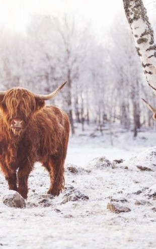 PHOTOWALL / Highland Cattle (e310106)