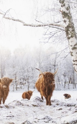 PHOTOWALL / Cattles in Snow (e310107)