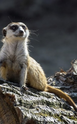 PHOTOWALL / Suricate (e310294)