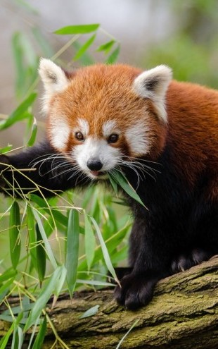 PHOTOWALL / Little Red Panda (e310453)