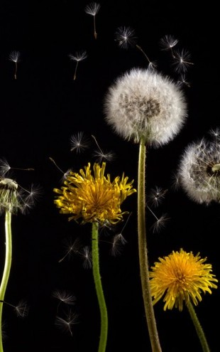 PHOTOWALL / Dandelion (e310520)