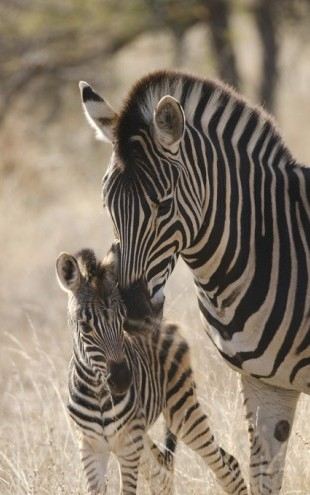 PHOTOWALL / Plains Zebra (e310372)