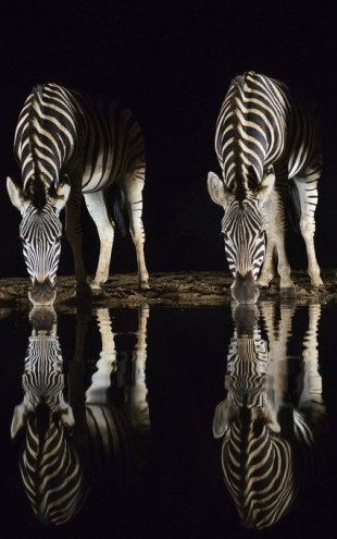 PHOTOWALL / Plains Zebra Drinking (e310392)