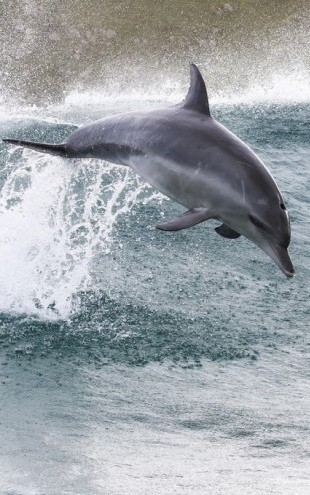 PHOTOWALL / Indo-Pacific Bottlenose Dolphin (e310393)