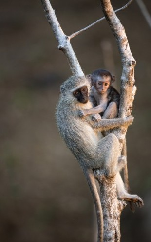 PHOTOWALL / Vervet Monkey (e310400)