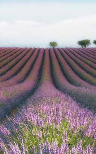PHOTOWALL / Velours de Lavender (e310974)