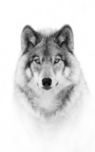 PHOTOWALL / Portrait of a Timber Wolf (e311064)