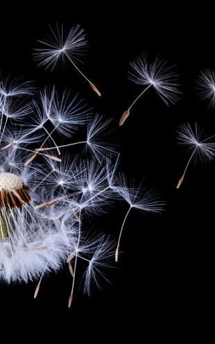 PHOTOWALL / Dandelion Blowing (e311116)