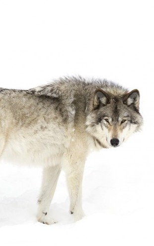 PHOTOWALL / Canadian Timber Wolf Walking Through The Snow (e311129)