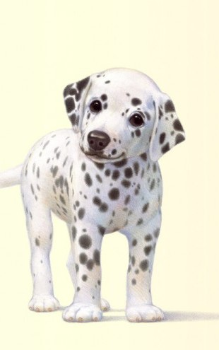 PHOTOWALL / Dalmation Pup (e312628)