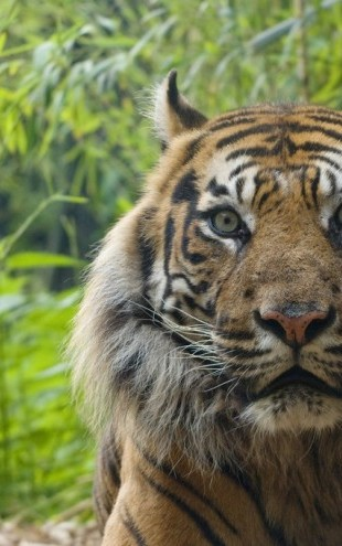 PHOTOWALL / Male Sumatran Tiger (e314446)