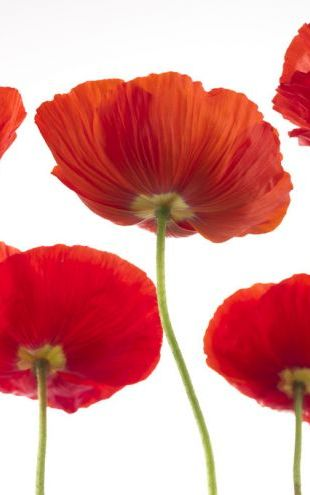 PHOTOWALL / Poppies - Red (e321013)