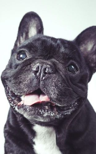 PHOTOWALL / Happy Old French Bulldog (e325013)